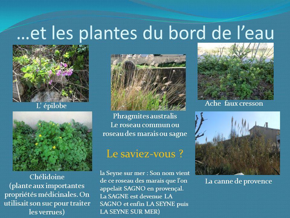 …et les plantes du bord de leau Phragmites australis Le roseau commun ou roseau des marais ou sagne Le saviez-vous ? la Seyne sur mer : Son nom vient