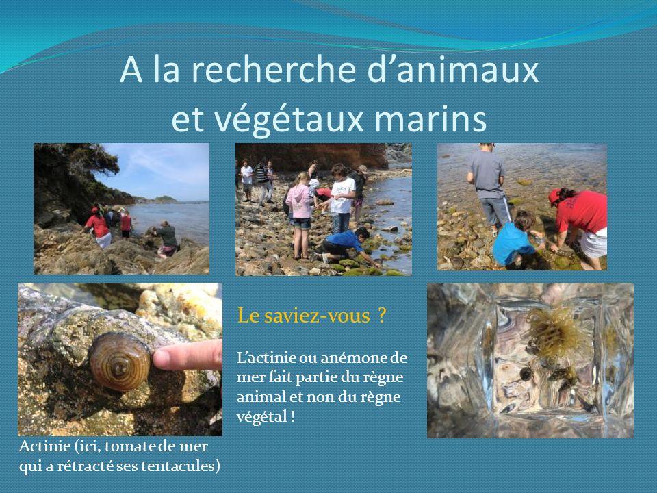 A la recherche danimaux et végétaux marins Le saviez-vous ? Lactinie ou anémone de mer fait partie du règne animal et non du règne végétal ! Actinie (