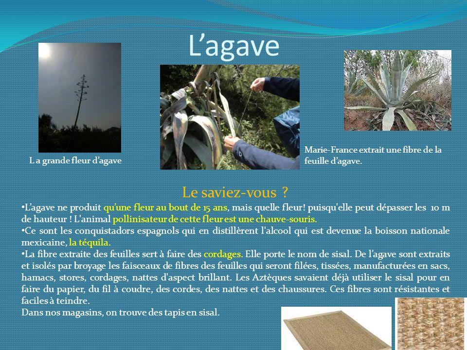 Lagave Le saviez-vous ? Lagave ne produit quune fleur au bout de 15 ans, mais quelle fleur! puisqu'elle peut dépasser les 10 m de hauteur ! L'animal p