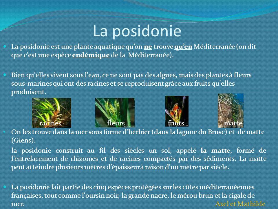 La posidonie La posidonie est une plante aquatique quon ne trouve quen Méditerranée (on dit que cest une espèce endémique de la Méditerranée). Bien qu