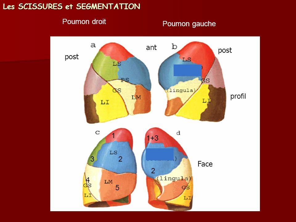 Poumon droit Poumon gauche profil 1+3 2 4 5 1 23 Les SCISSURES et SEGMENTATION Face 4 ant post