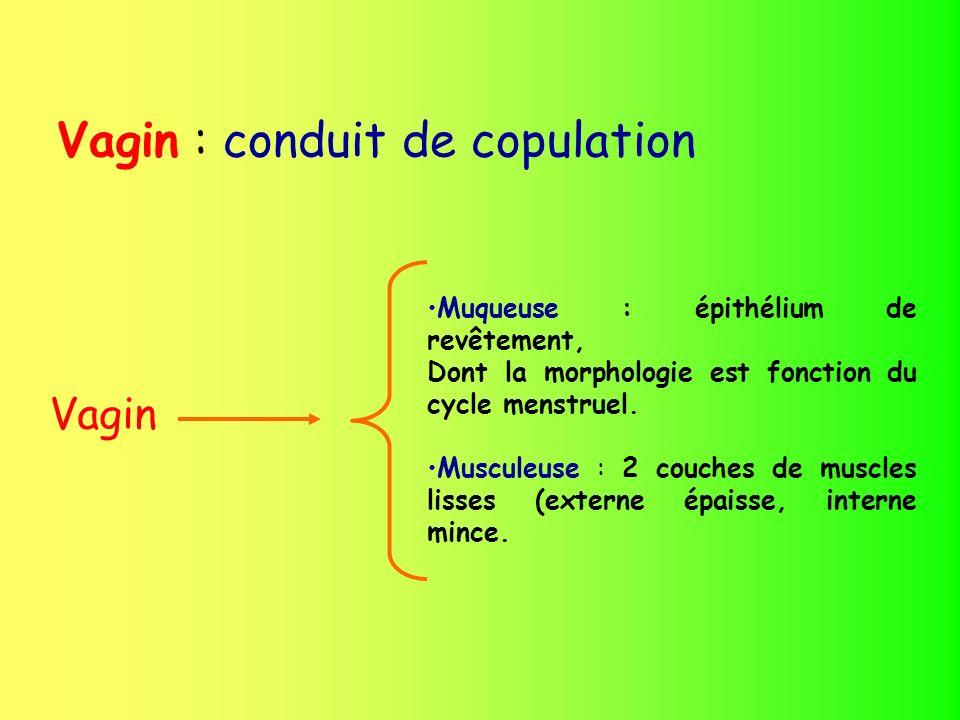 Vagin : conduit de copulation Vagin Muqueuse : épithélium de revêtement, Dont la morphologie est fonction du cycle menstruel. Musculeuse : 2 couches d