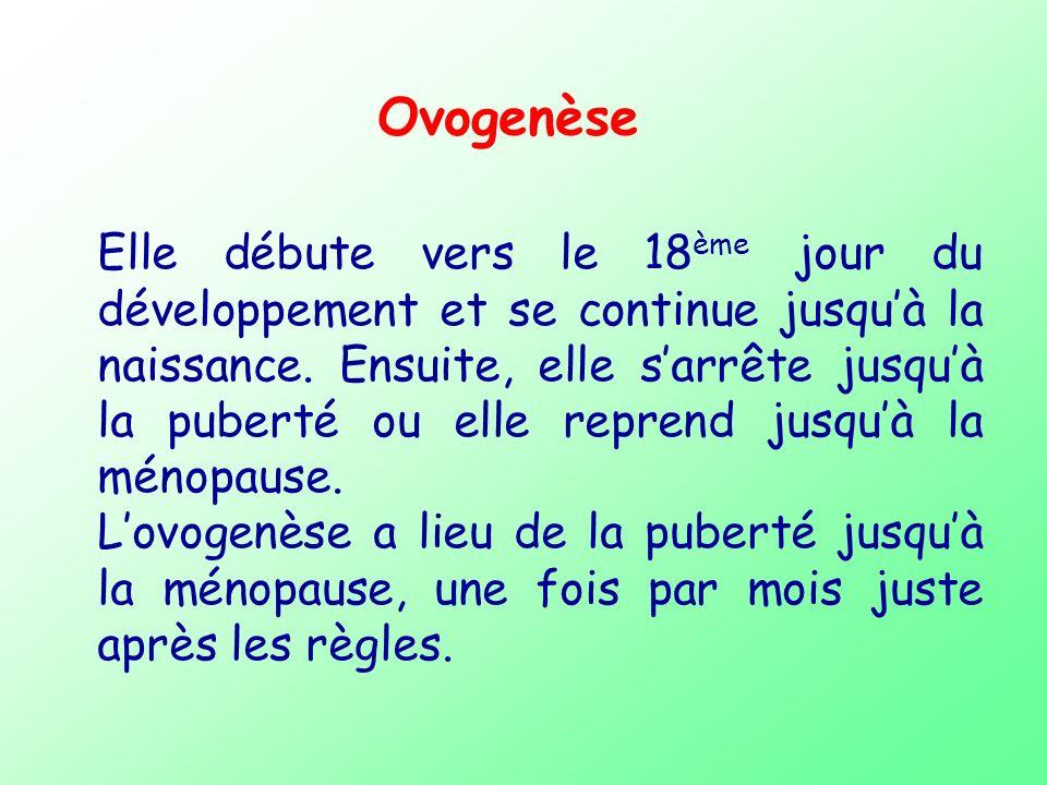 Ovogenèse Elle débute vers le 18 ème jour du développement et se continue jusquà la naissance.