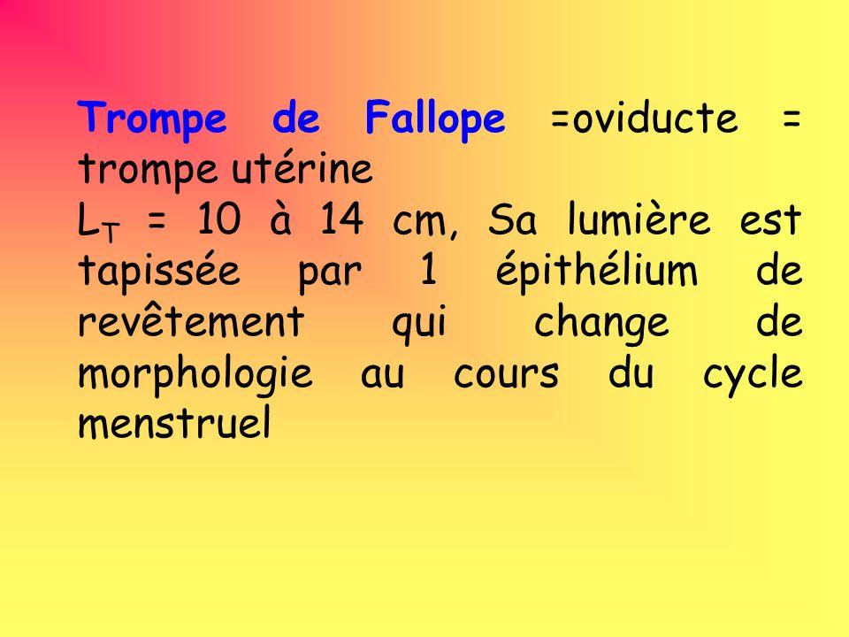 Trompe de Fallope =oviducte = trompe utérine L T = 10 à 14 cm, Sa lumière est tapissée par 1 épithélium de revêtement qui change de morphologie au cours du cycle menstruel