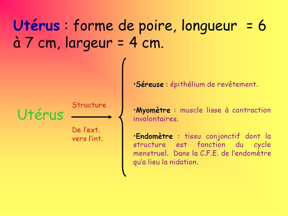 Utérus : forme de poire, longueur = 6 à 7 cm, largeur = 4 cm. Utérus Séreuse : épithélium de revêtement. Myomètre : muscle lisse à contraction involon