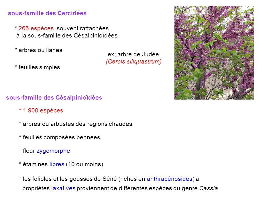 sous-famille des Cercidées * 265 espèces, souvent rattachées à la sous-famille des Césalpinioïdées * arbres ou lianes * feuilles simples ex; arbre de