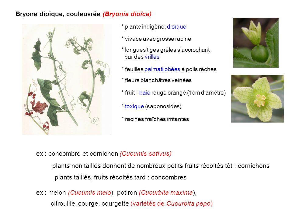 Bryone dioïque, couleuvrée (Bryonia dioïca) * plante indigène, dioïque * vivace avec grosse racine * feuilles palmatilobées à poils rêches * fruit : b