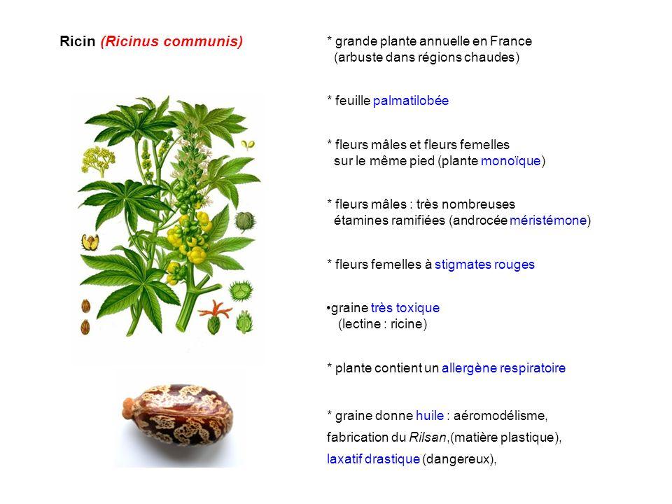 Ricin (Ricinus communis) graine très toxique (lectine : ricine) * graine donne huile : aéromodélisme, fabrication du Rilsan,(matière plastique), laxat