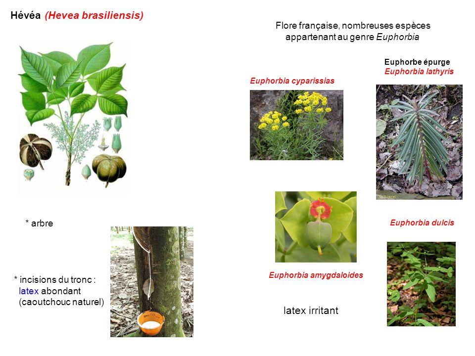 Hévéa (Hevea brasiliensis) * arbre * incisions du tronc : latex abondant (caoutchouc naturel) Flore française, nombreuses espèces appartenant au genre