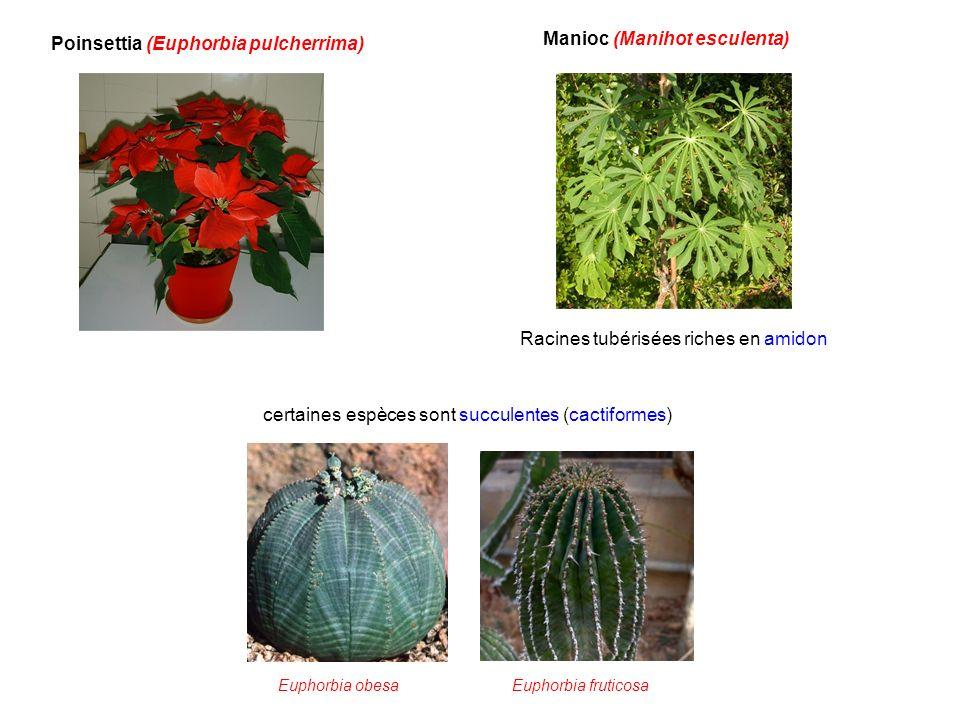 Poinsettia (Euphorbia pulcherrima) Manioc (Manihot esculenta) Racines tubérisées riches en amidon Euphorbia obesaEuphorbia fruticosa certaines espèces
