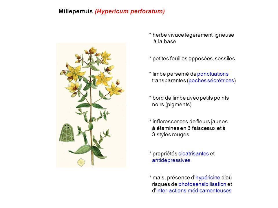 Millepertuis (Hypericum perforatum) * herbe vivace légèrement ligneuse à la base * petites feuilles opposées, sessiles * limbe parsemé de ponctuations