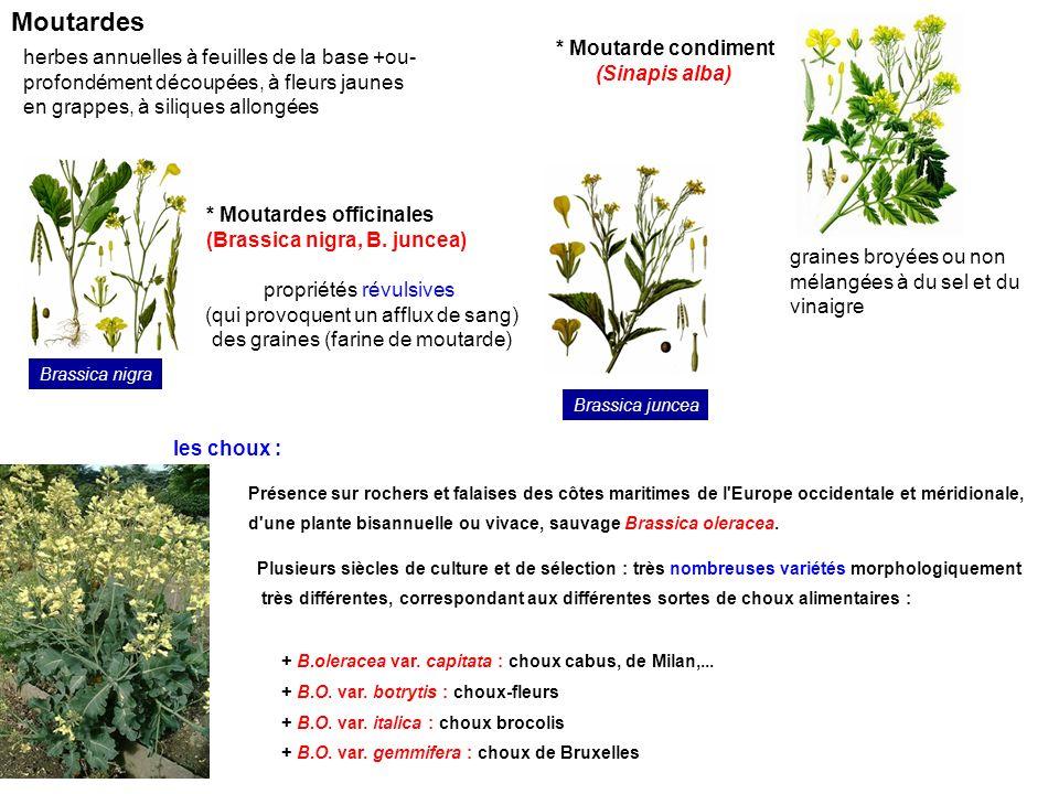 * Moutarde condiment (Sinapis alba) graines broyées ou non mélangées à du sel et du vinaigre * Moutardes officinales (Brassica nigra, B. juncea) propr