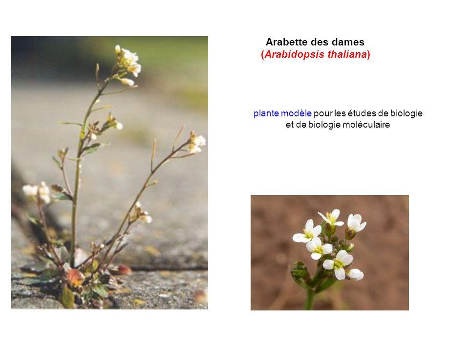Arabette des dames (Arabidopsis thaliana) plante modèle pour les études de biologie et de biologie moléculaire