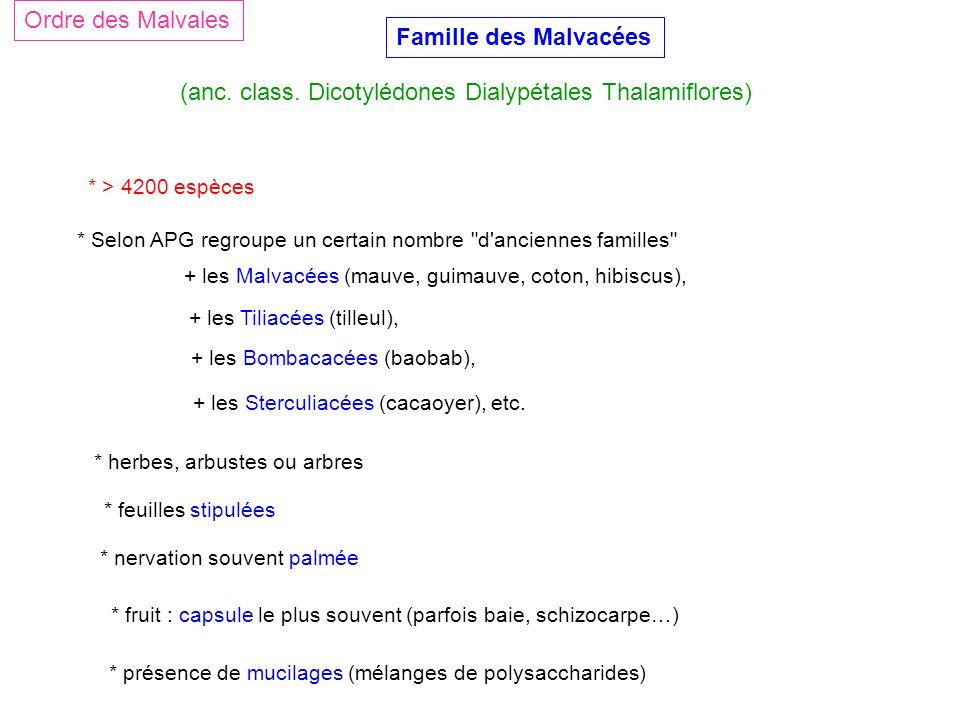 Famille des Malvacées (anc. class. Dicotylédones Dialypétales Thalamiflores) Ordre des Malvales * > 4200 espèces * herbes, arbustes ou arbres * feuill