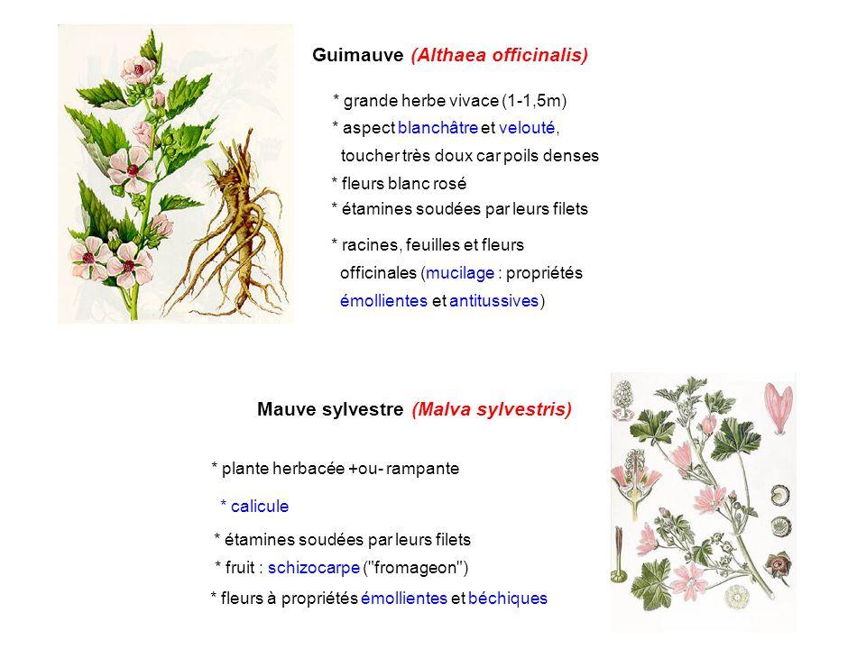 Guimauve (Althaea officinalis) * grande herbe vivace (1-1,5m) * aspect blanchâtre et velouté, toucher très doux car poils denses * fleurs blanc rosé *