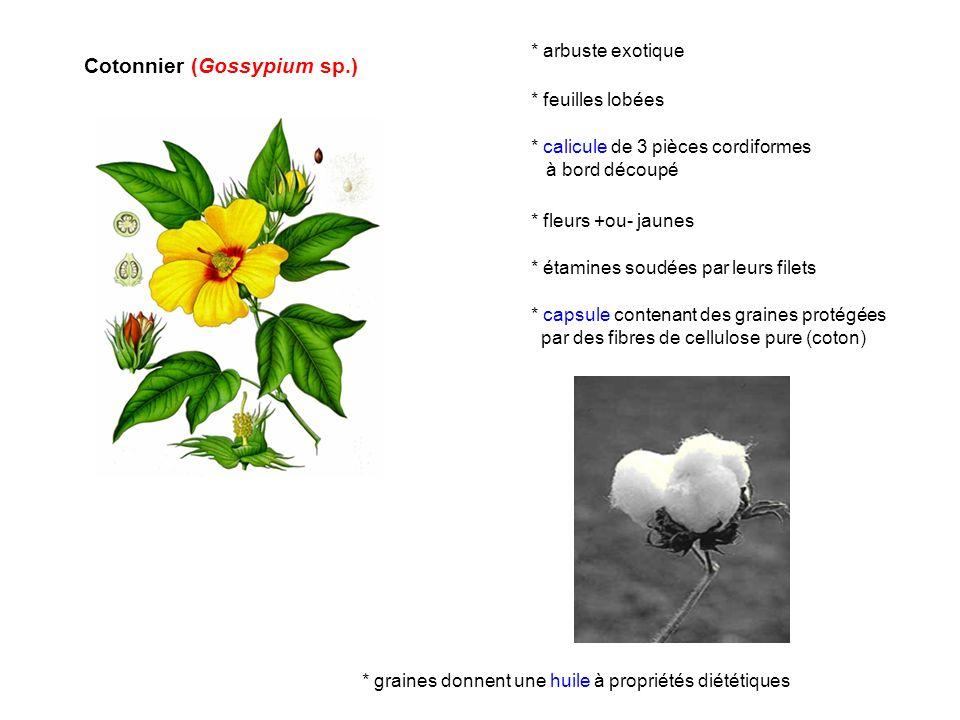 Cotonnier (Gossypium sp.) * étamines soudées par leurs filets * capsule contenant des graines protégées par des fibres de cellulose pure (coton) * gra