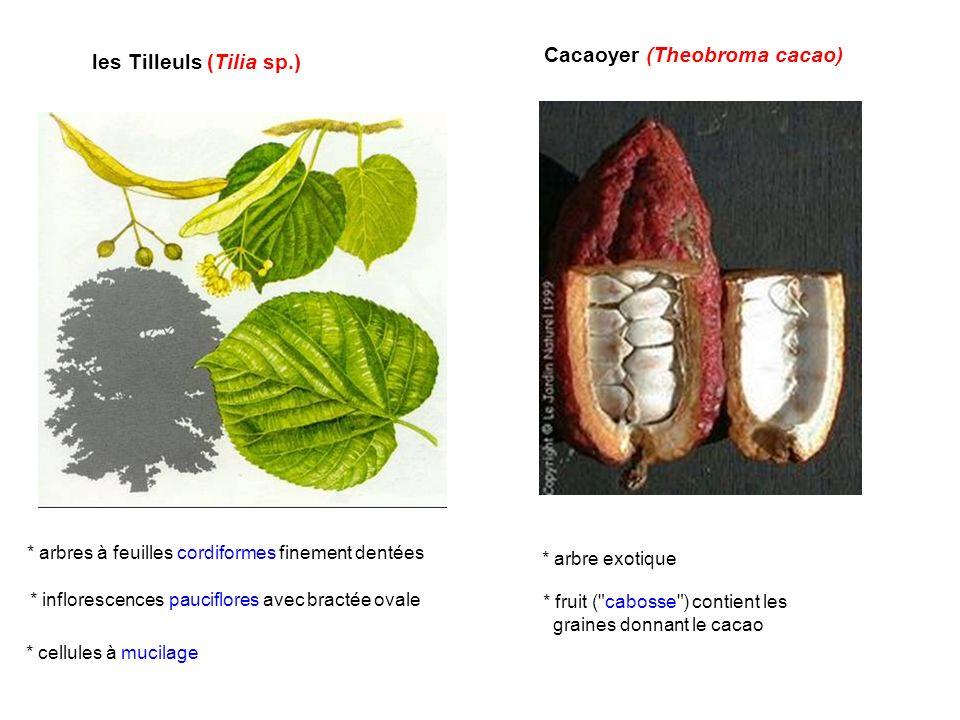 les Tilleuls (Tilia sp.) Cacaoyer (Theobroma cacao) * arbre exotique * fruit (