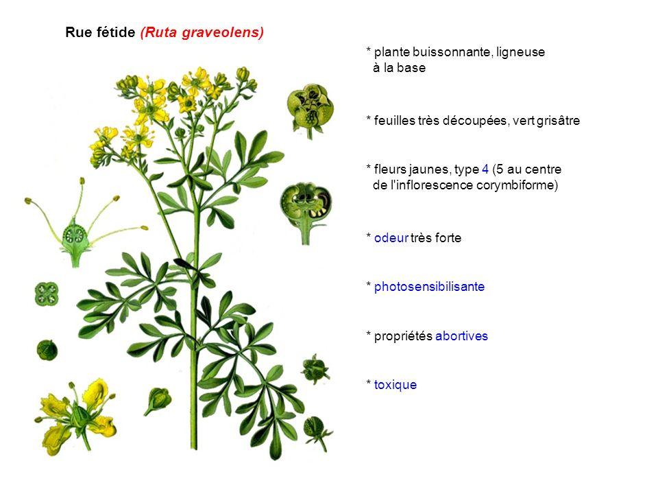 Rue fétide (Ruta graveolens) * plante buissonnante, ligneuse à la base * feuilles très découpées, vert grisâtre * fleurs jaunes, type 4 (5 au centre d