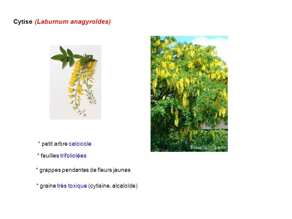 Cytise (Laburnum anagyroïdes) * graine très toxique (cytisine, alcaloïde) * feuilles trifoliolées * grappes pendantes de fleurs jaunes * petit arbre c