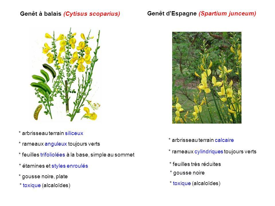Genêt à balais (Cytisus scoparius) Genêt d'Espagne (Spartium junceum) * arbrisseau terrain siliceux * rameaux anguleux toujours verts * feuilles trifo