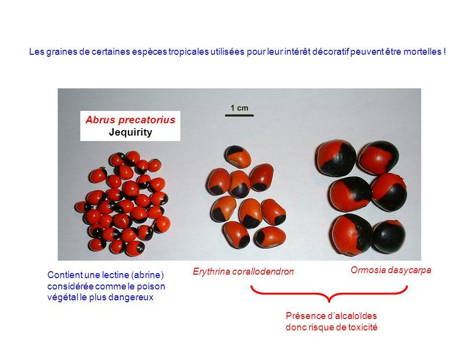 Les graines de certaines espèces tropicales utilisées pour leur intérêt décoratif peuvent être mortelles ! Abrus precatorius Jequirity Erythrina coral