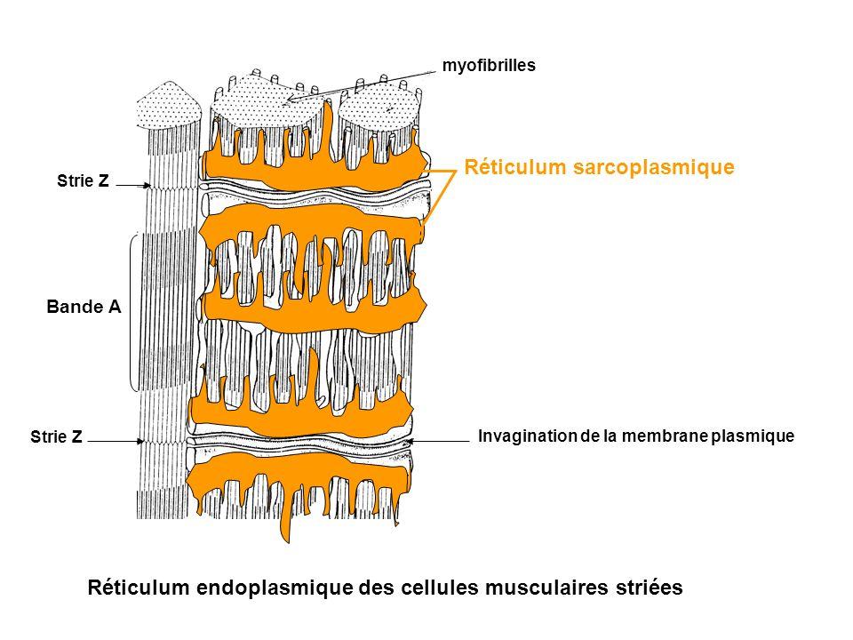 Réticulum endoplasmique des cellules musculaires striées Strie Z Bande A myofibrilles Invagination de la membrane plasmique Réticulum sarcoplasmique