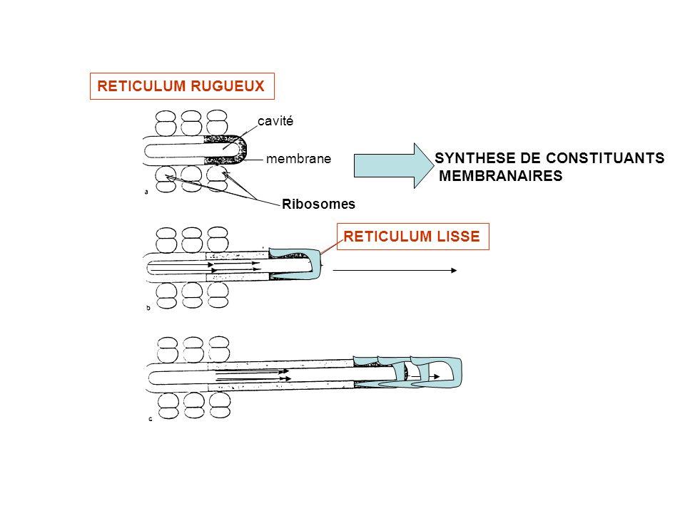 Ribosomes RETICULUM RUGUEUX cavité membrane SYNTHESE DE CONSTITUANTS MEMBRANAIRES RETICULUM LISSE