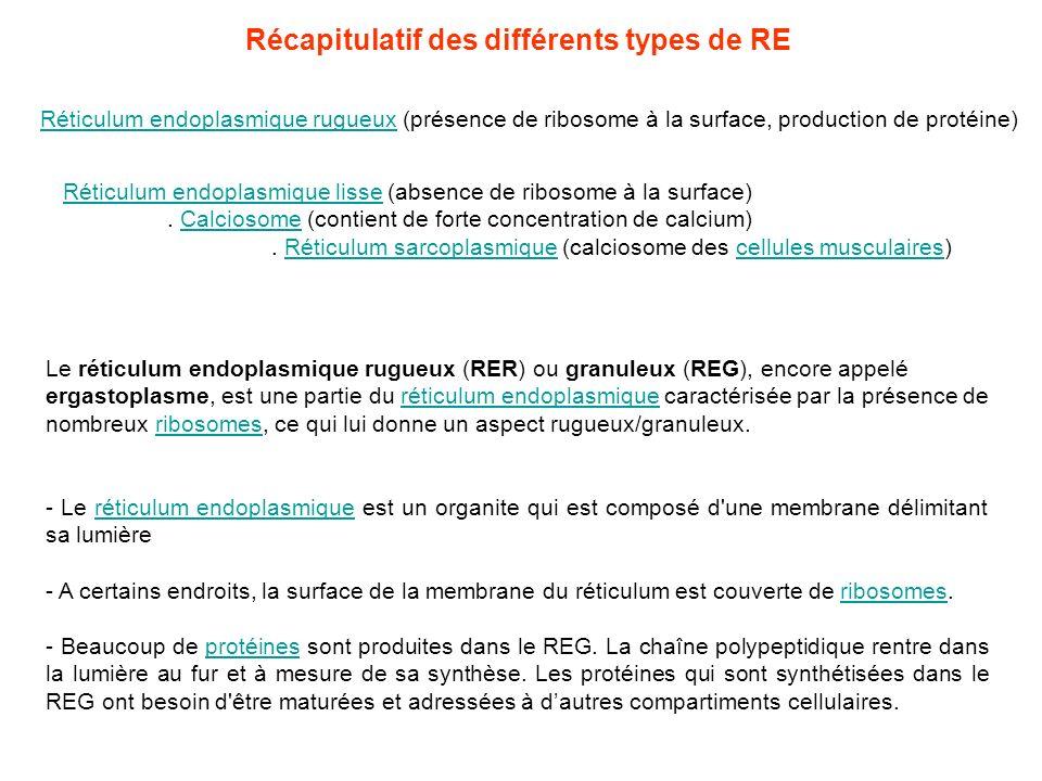 Le réticulum endoplasmique rugueux (RER) ou granuleux (REG), encore appelé ergastoplasme, est une partie du réticulum endoplasmique caractérisée par l