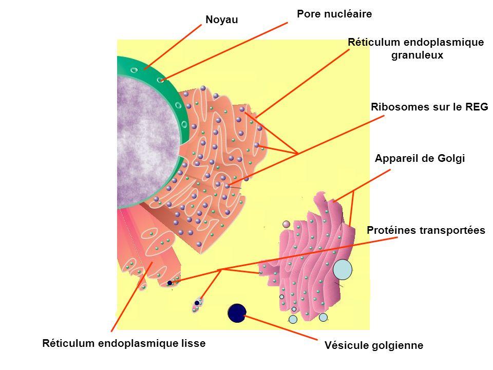 Noyau Pore nucléaire Réticulum endoplasmique granuleux Réticulum endoplasmique lisse Ribosomes sur le REG Appareil de Golgi Protéines transportées Vés