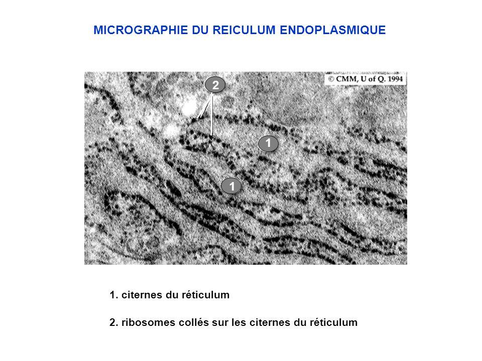 1. citernes du réticulum MICROGRAPHIE DU REICULUM ENDOPLASMIQUE 2. ribosomes collés sur les citernes du réticulum 2 1 1