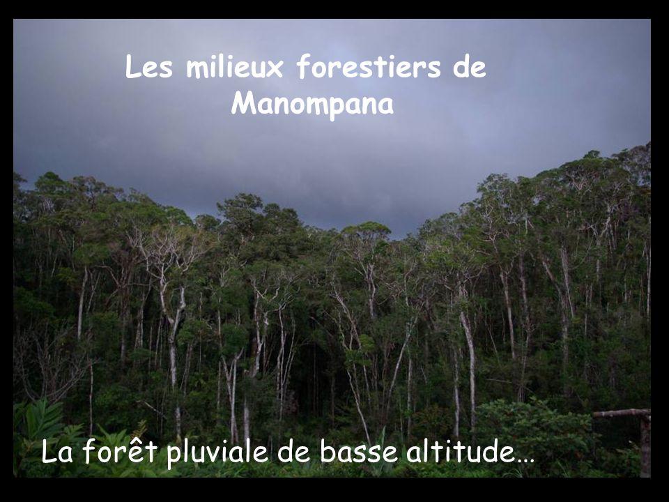 Les milieux forestiers de Manompana La forêt pluviale de basse altitude…