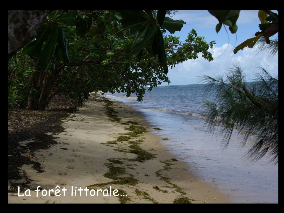 La forêt littorale…