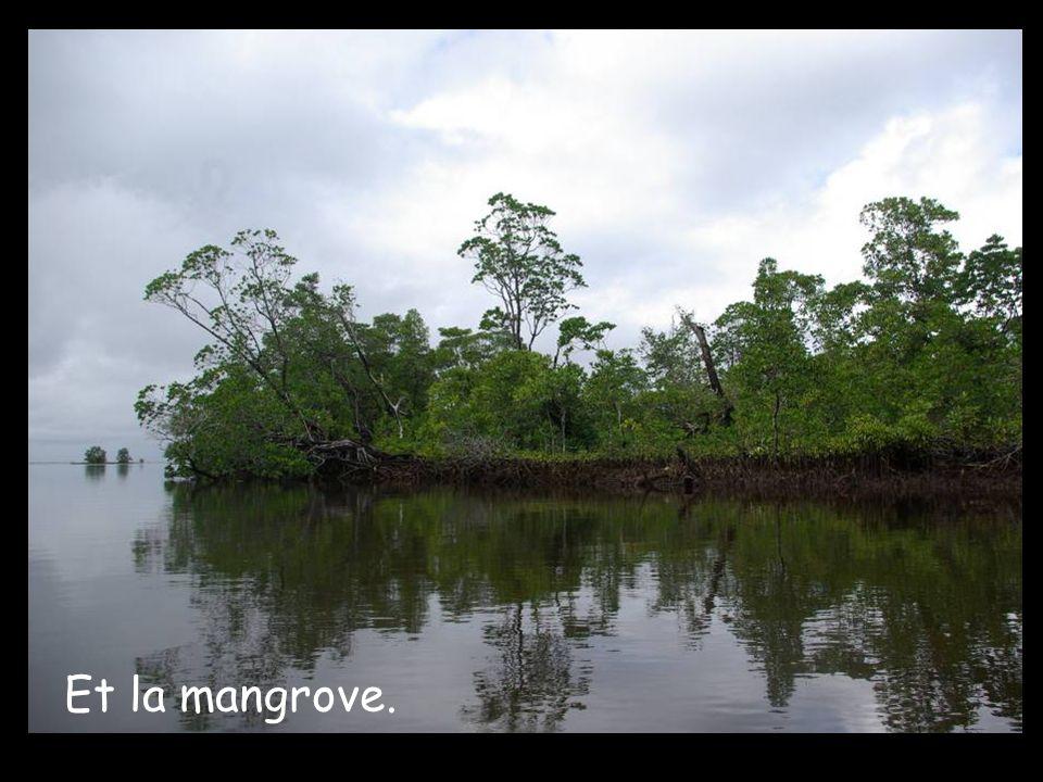 Et la mangrove.