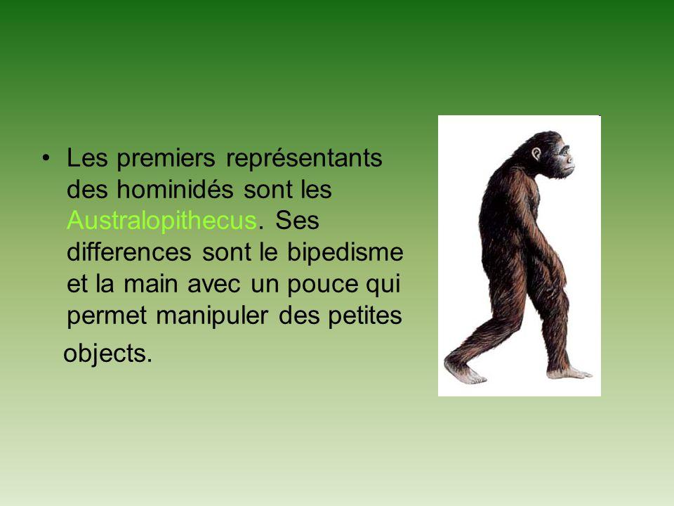 Les premiers représentants des hominidés sont les Australopithecus.