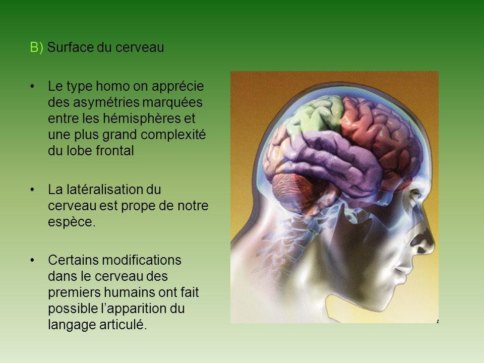 B) Surface du cerveau Le type homo on apprécie des asymétries marquées entre les hémisphères et une plus grand complexité du lobe frontal La latéralisation du cerveau est prope de notre espèce.