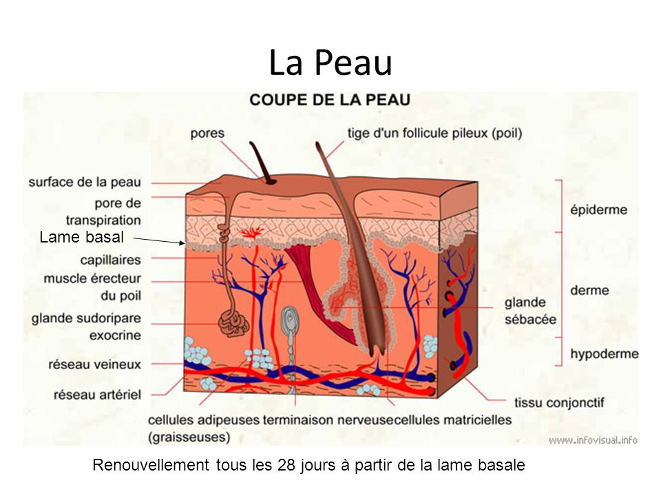 La Peau La peau Organe à part entière > 2 m2 Indispensable à la survie Fonction – Barrière : perte hydriques; caloriques, germes – Protection : trauma