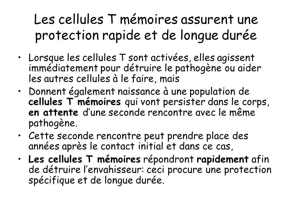 Les cellules T mémoires assurent une protection rapide et de longue durée Lorsque les cellules T sont activées, elles agissent immédiatement pour détr