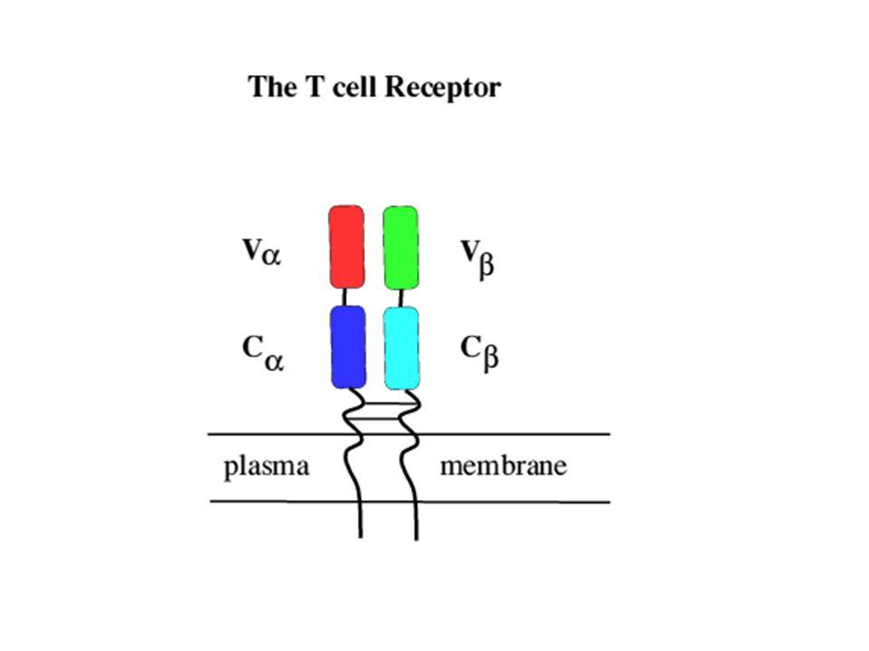 Rendu possible par : www.immunologymontreal.ca www.cihr-irsc.gc.ca/synapse www.mcgill.ca/hostres/training