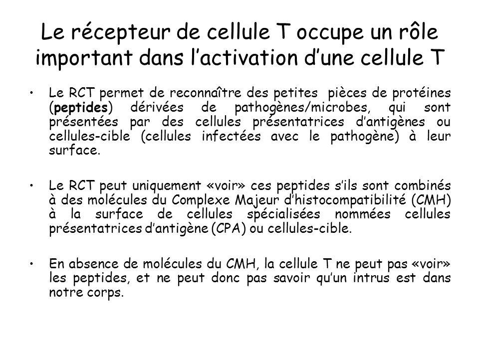 Le récepteur de cellule T occupe un rôle important dans lactivation dune cellule T Le RCT permet de reconnaître des petites pièces de protéines (pepti