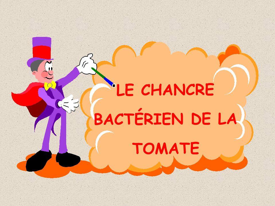 LE CHANCRE BACTÉRIEN DE LA TOMATE