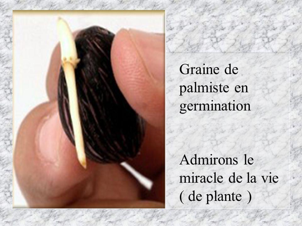 Graine de palmiste en germination Admirons le miracle de la vie ( de plante )