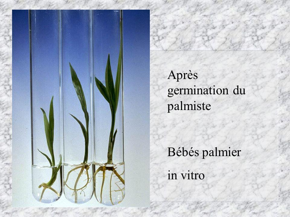 Après germination du palmiste Bébés palmier in vitro