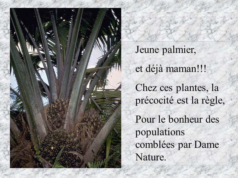 Jeune palmier, et déjà maman!!! Chez ces plantes, la précocité est la règle, Pour le bonheur des populations comblées par Dame Nature.