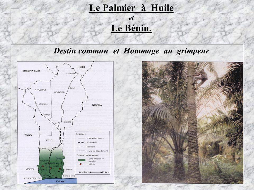 Le Palmier à Huile et Le Bénin. Destin commun et Hommage au grimpeur