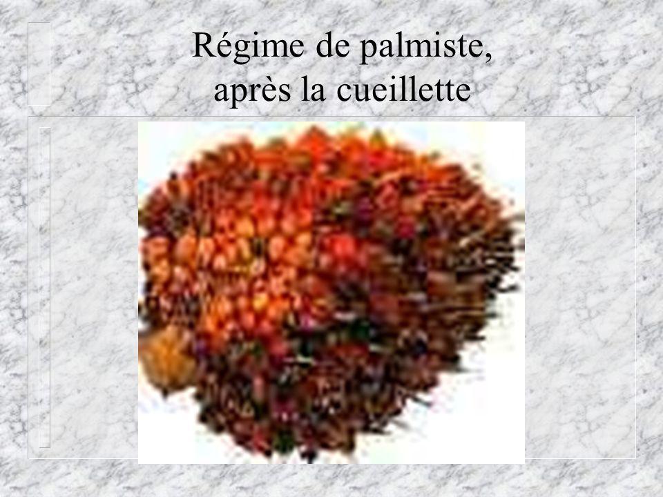 Graines servant à la fabrication d huile palme, n obtenues après légrenage, avant la cuisson ( méthode traditionnelle ).