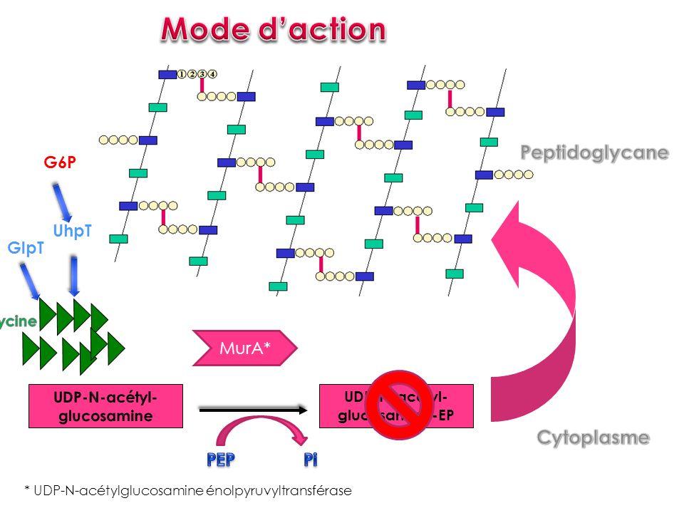 UDP-N-acétyl- glucosamine-EP * UDP-N-acétylglucosamine énolpyruvyltransférase MurA* GlpT UhpT G6P