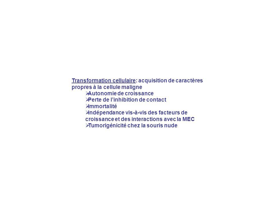 Transformation cellulaire: acquisition de caractères propres à la cellule maligne Autonomie de croissance Perte de linhibition de contact Immortalité Indépendance vis-à-vis des facteurs de croissance et des interactions avec la MEC Tumorigénicité chez la souris nude