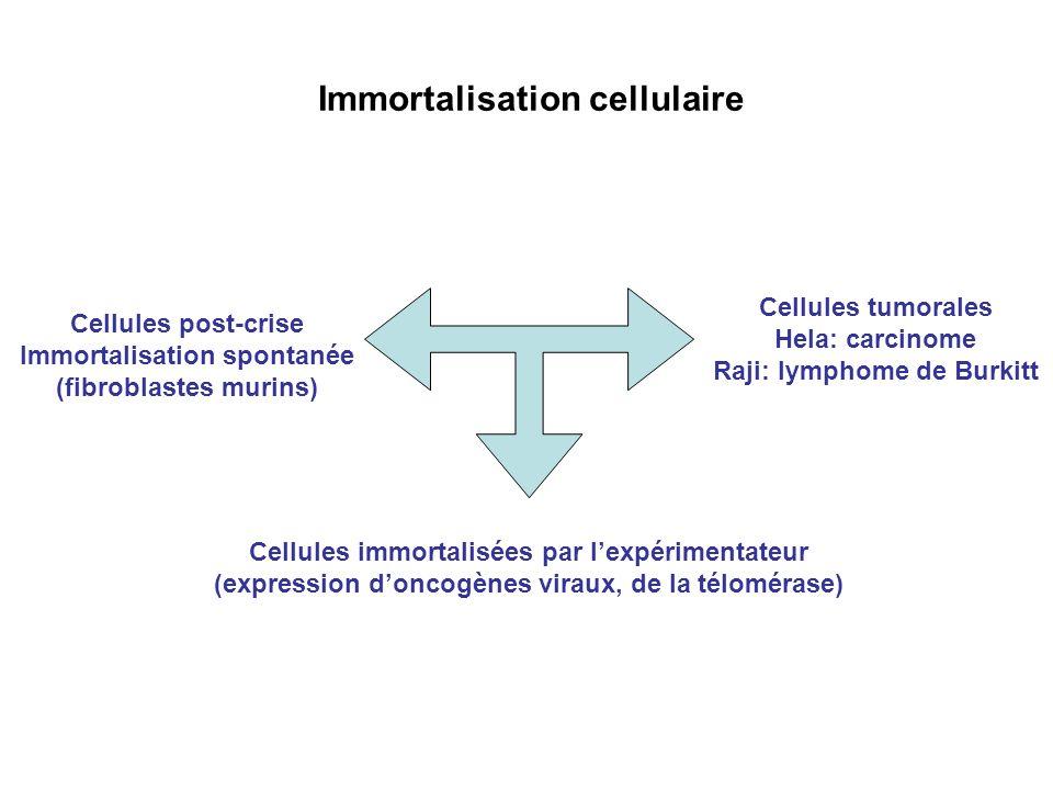 Immortalisation cellulaire Cellules post-crise Immortalisation spontanée (fibroblastes murins) Cellules immortalisées par lexpérimentateur (expression