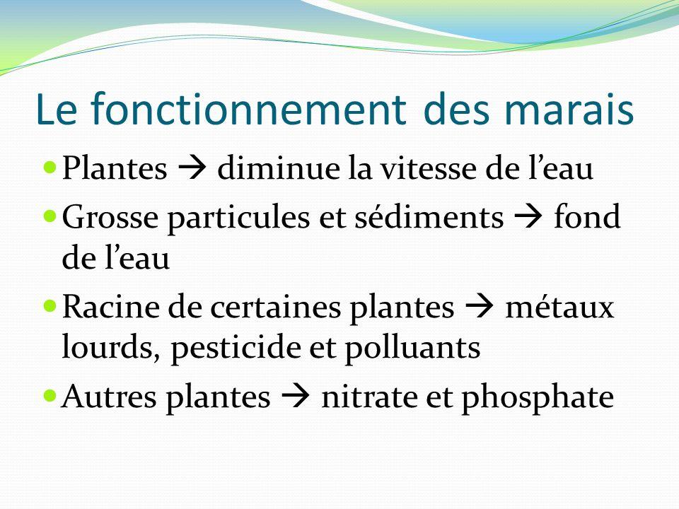 Le fonctionnement des marais Plantes diminue la vitesse de leau Grosse particules et sédiments fond de leau Racine de certaines plantes métaux lourds,