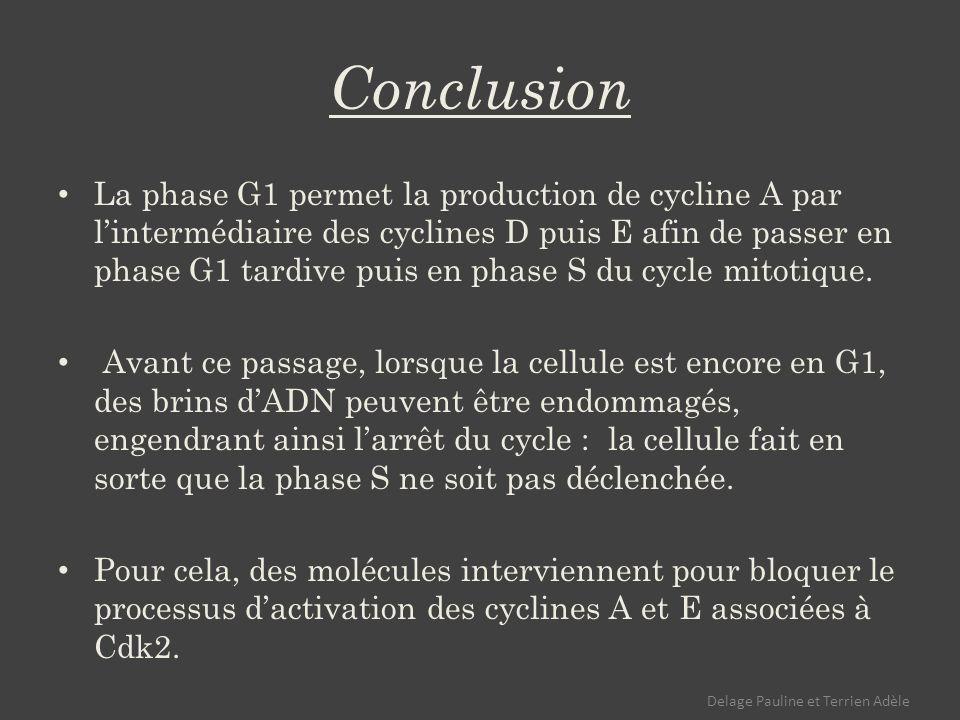 Conclusion La phase G1 permet la production de cycline A par lintermédiaire des cyclines D puis E afin de passer en phase G1 tardive puis en phase S du cycle mitotique.